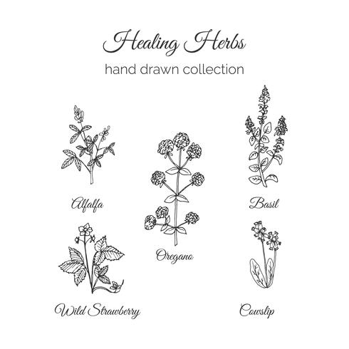 Medicina holística. Ilustração de ervas curativas.