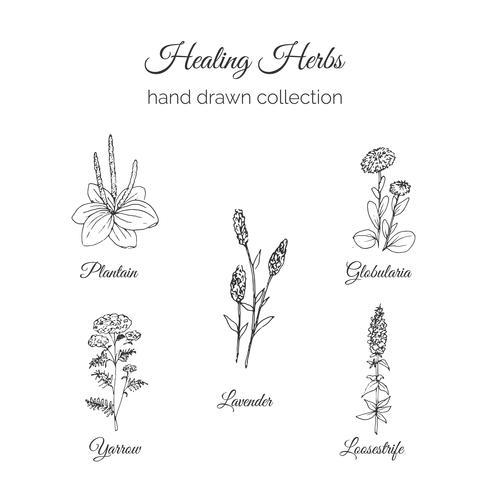 Dibujado a mano hierbas de curación holística vector