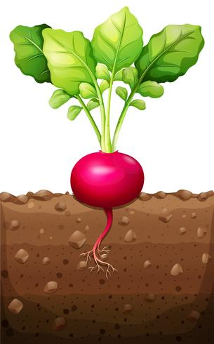 Red radish with roots underground