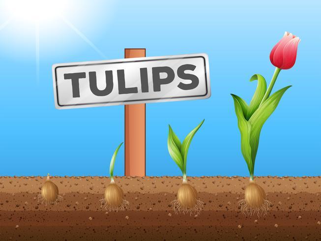 Tulpen wachsen aus dem Untergrund