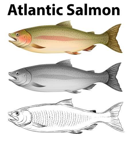 Three drawing styles of atlantic salmon