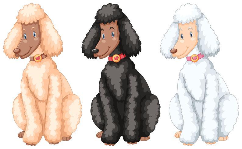 Tres perros caniche con diferentes colores de piel.