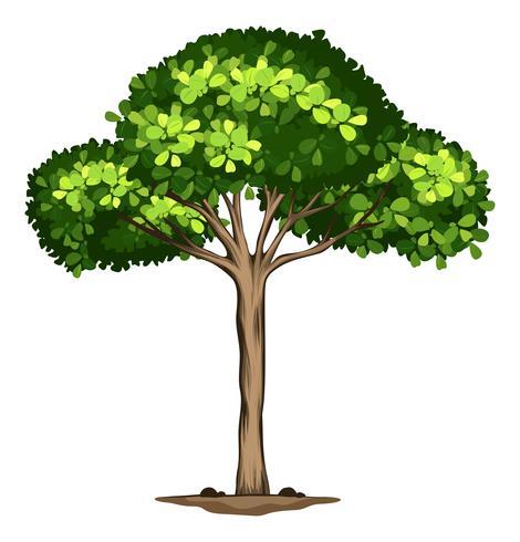 Uma árvore idolatrada no fundo branco