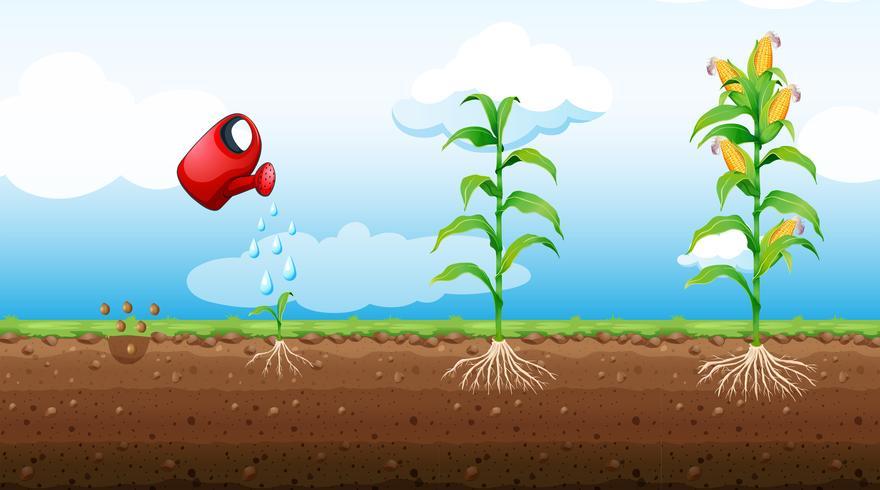 Stufen des Wachstums von Maispflanzen vektor