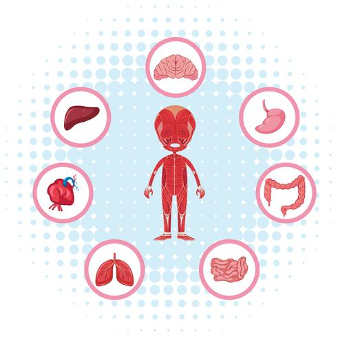 Anatomia umana con diversi organi sul poster vettore