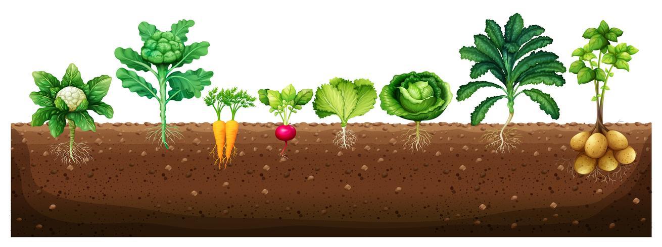 Verduras que crecen de la tierra. vector