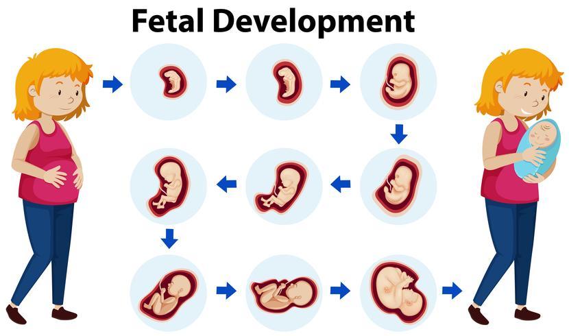 Un vecteur de développement fœtal