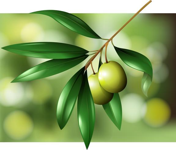 Olives sur une scène de branche