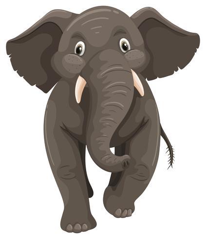 Elefante selvagem em fundo branco