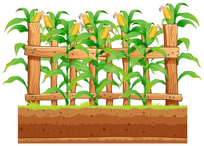 Una fattoria di mais su sfondo whiote
