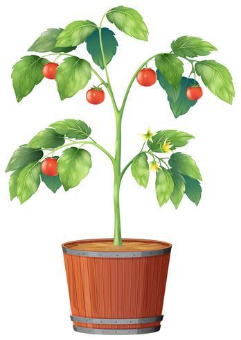 En tomatväxt på vit bakgrund