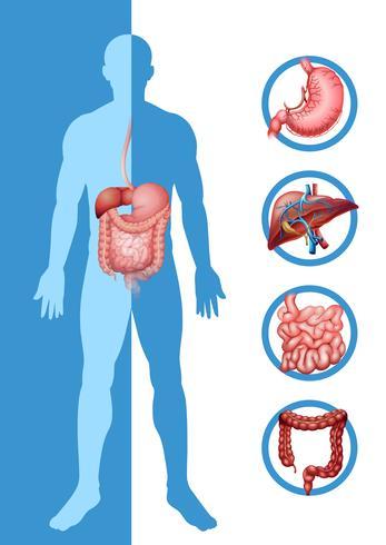Anatomía del humano mostrando diferentes órganos. vector