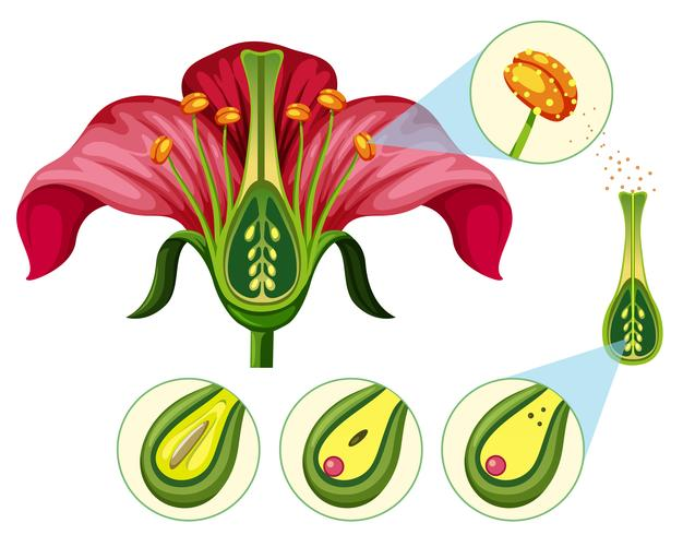 Flower Organs and Reproduction Parts