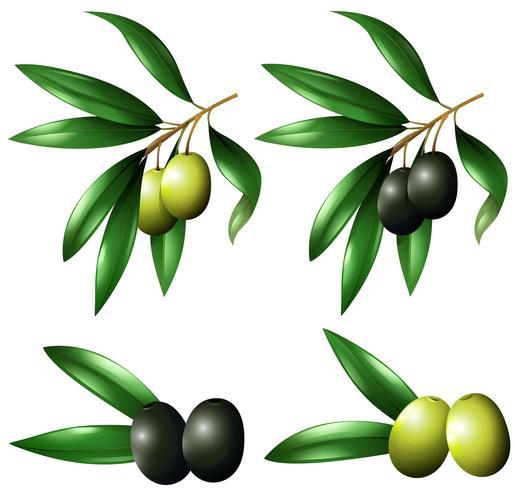 Groene en zwarte olijven op tak