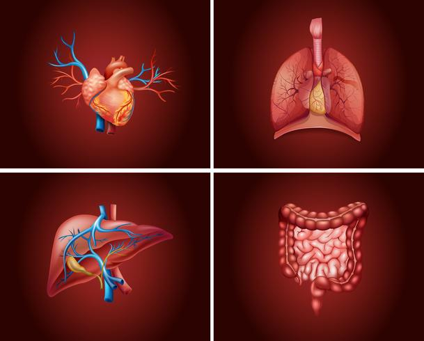 Cuatro partes diferentes de los órganos humanos. vector