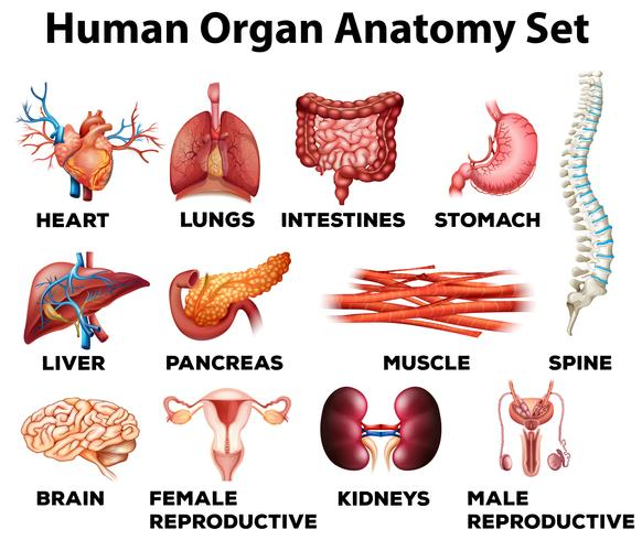 Conjunto de anatomía del órgano humano.