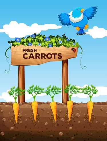 Boerderij met verse wortelen en teken