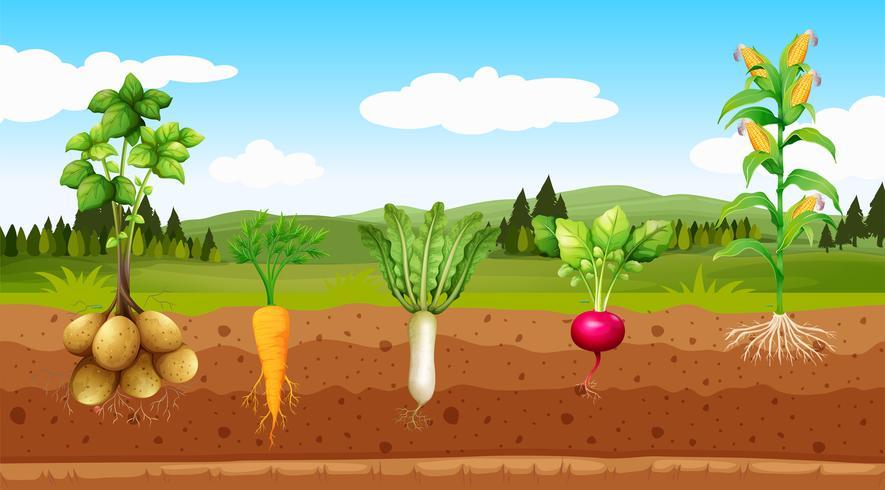 Landwirtschafts-Gemüse und Untertagewurzel