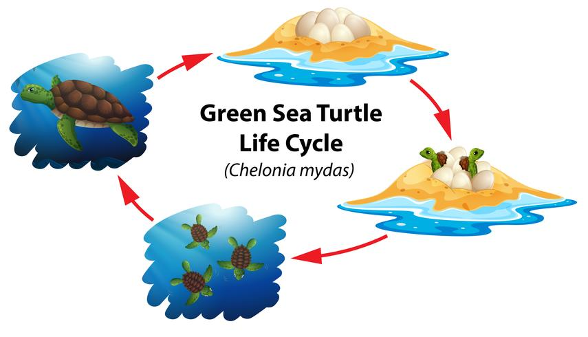 Green sea turtle life cycle vector