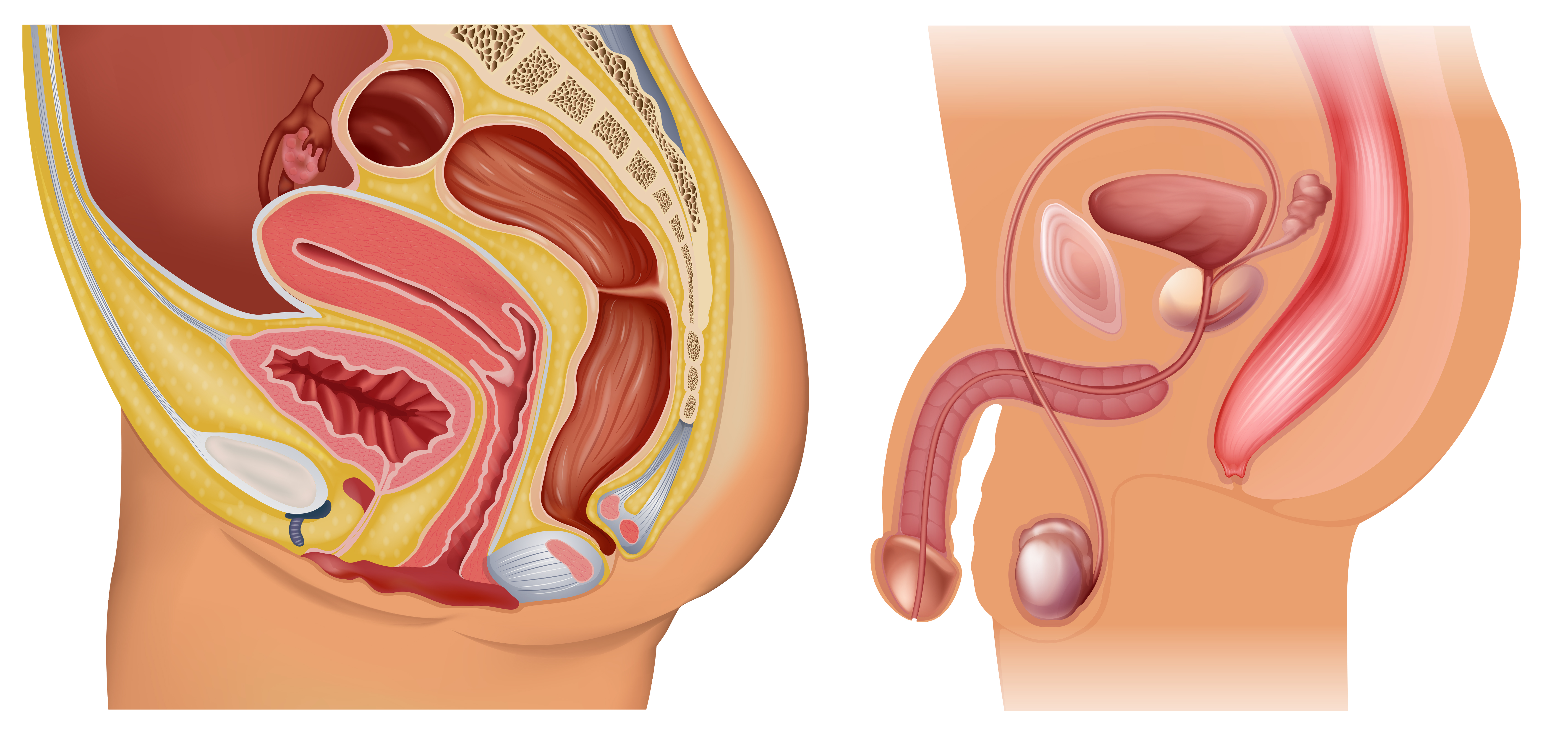 Female And Male Reproductive System