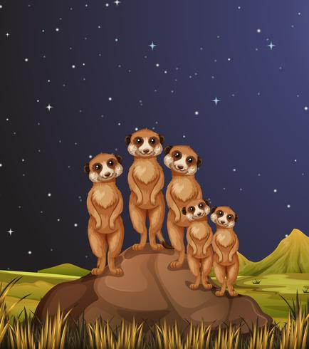 Meerkats standing on rocks at night