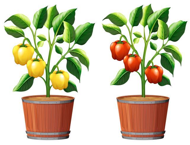 Planta de pimentão amarelo e vermelho