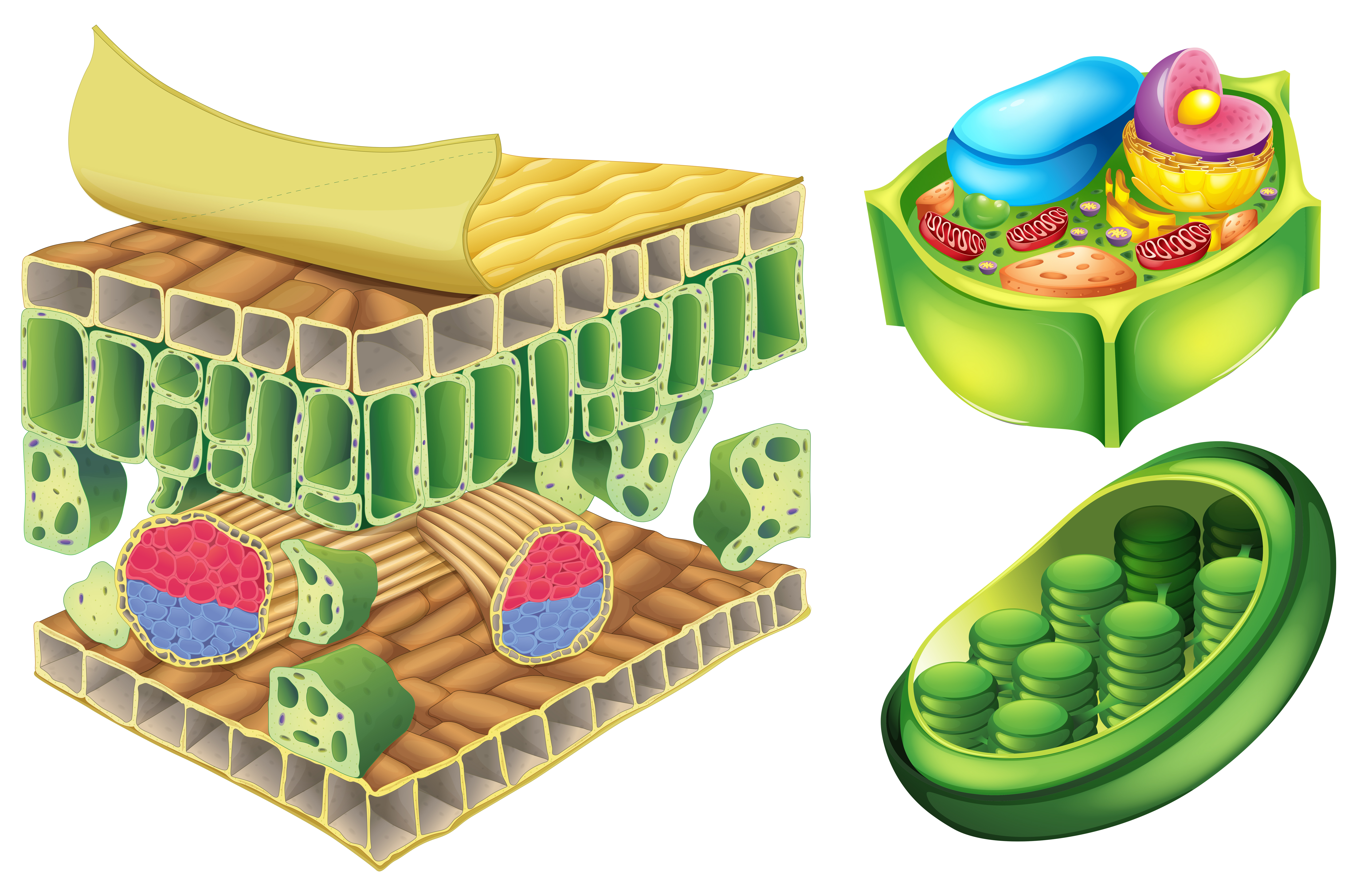 Cell Wall Free Vector Art - (282 Free Downloads)