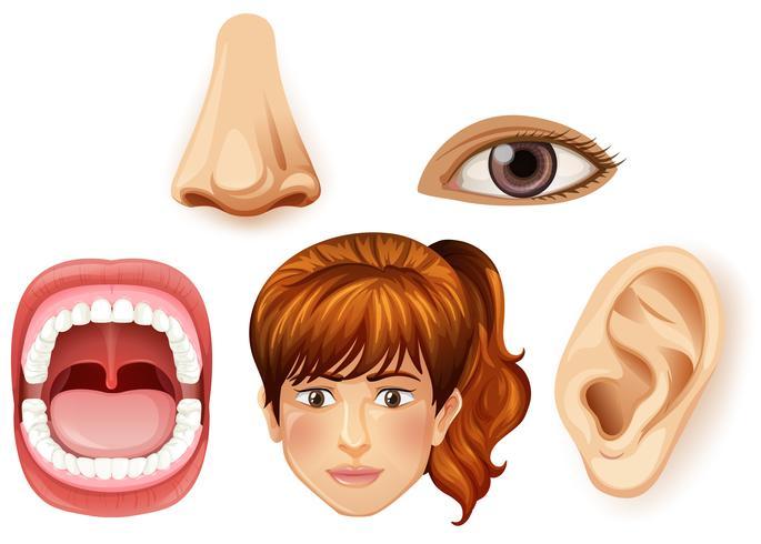 Uma parte facial feminina humana vetor