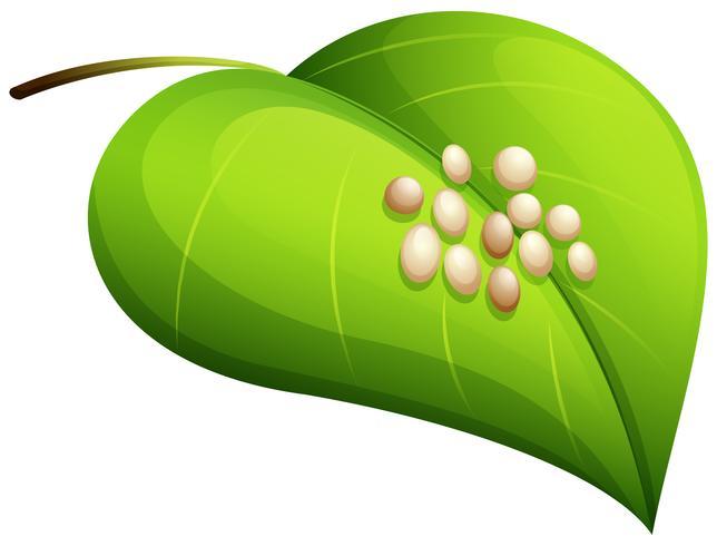Silkworm eggs on leaf