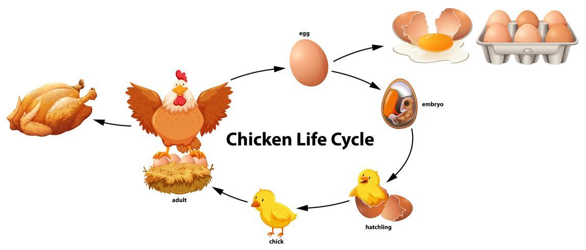 La ciencia del ciclo de vida del pollo