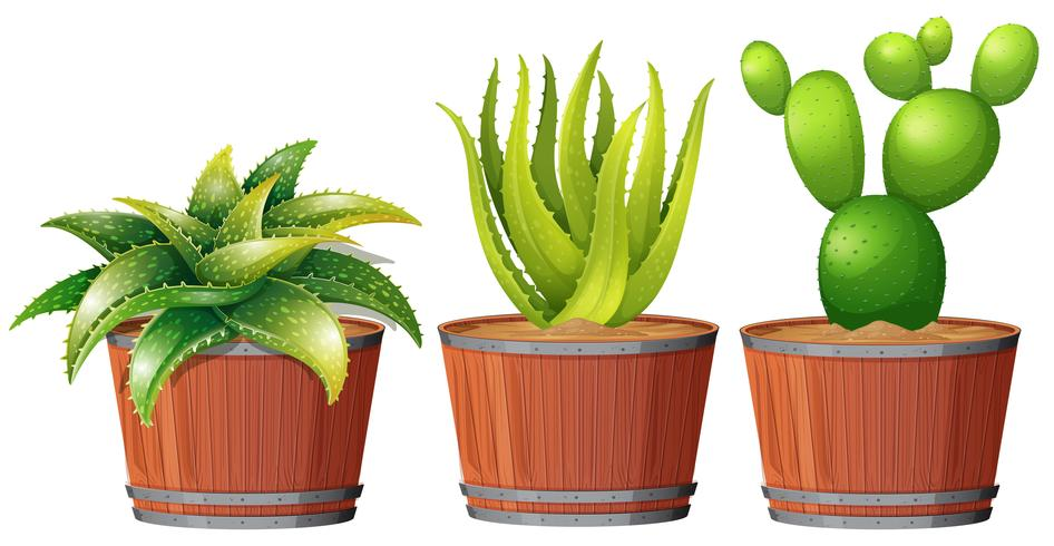 Kaktus växer i potten