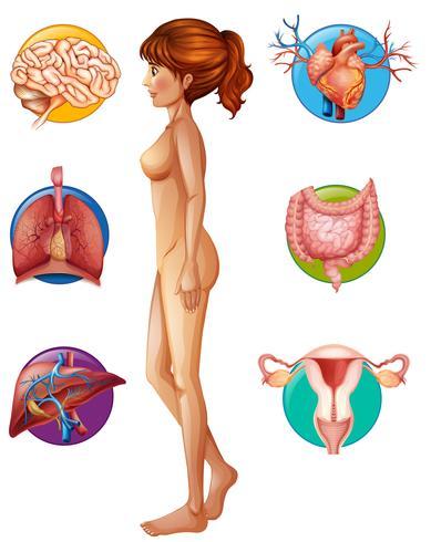 Eine menschliche Anatomie und ein Organ