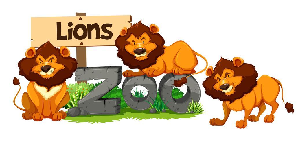 Três leões no zoológico