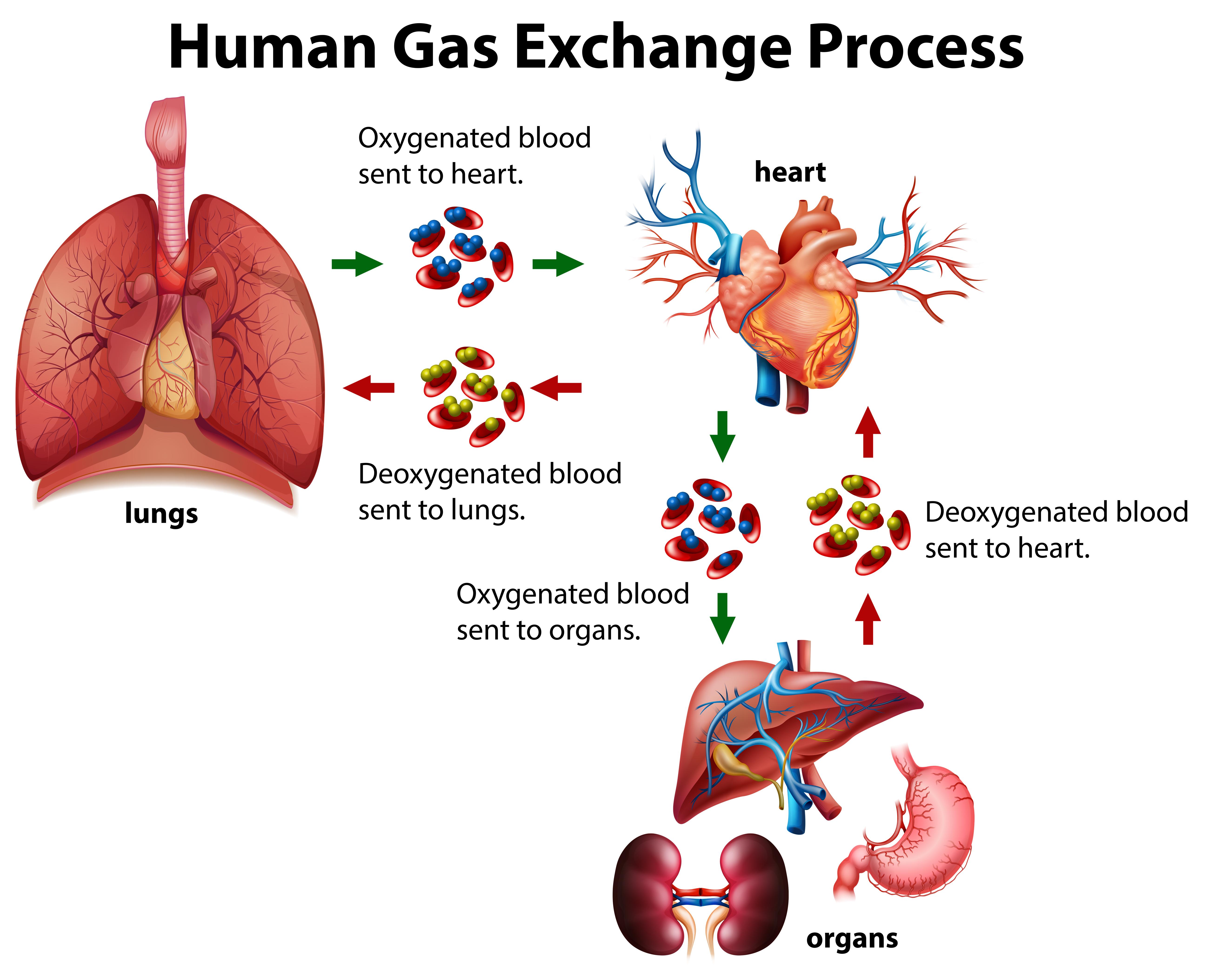 Human Gas Exchange Process Diagram