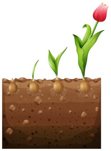 Tulip growing from underground