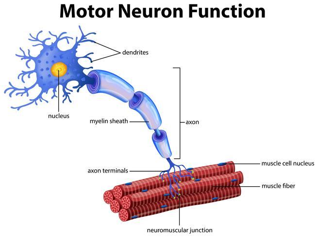 Un vettore della funzione Motor Neuron