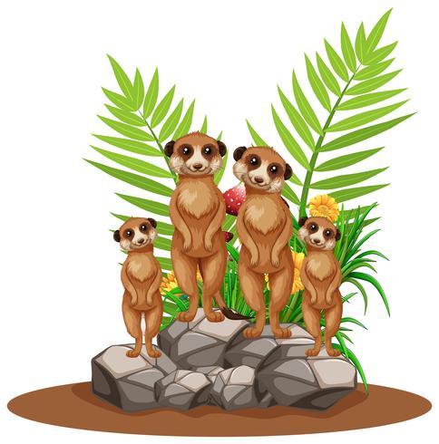Quatro meerkats em pé na pedra vetor