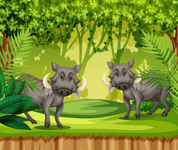 Two wild boars in jungle