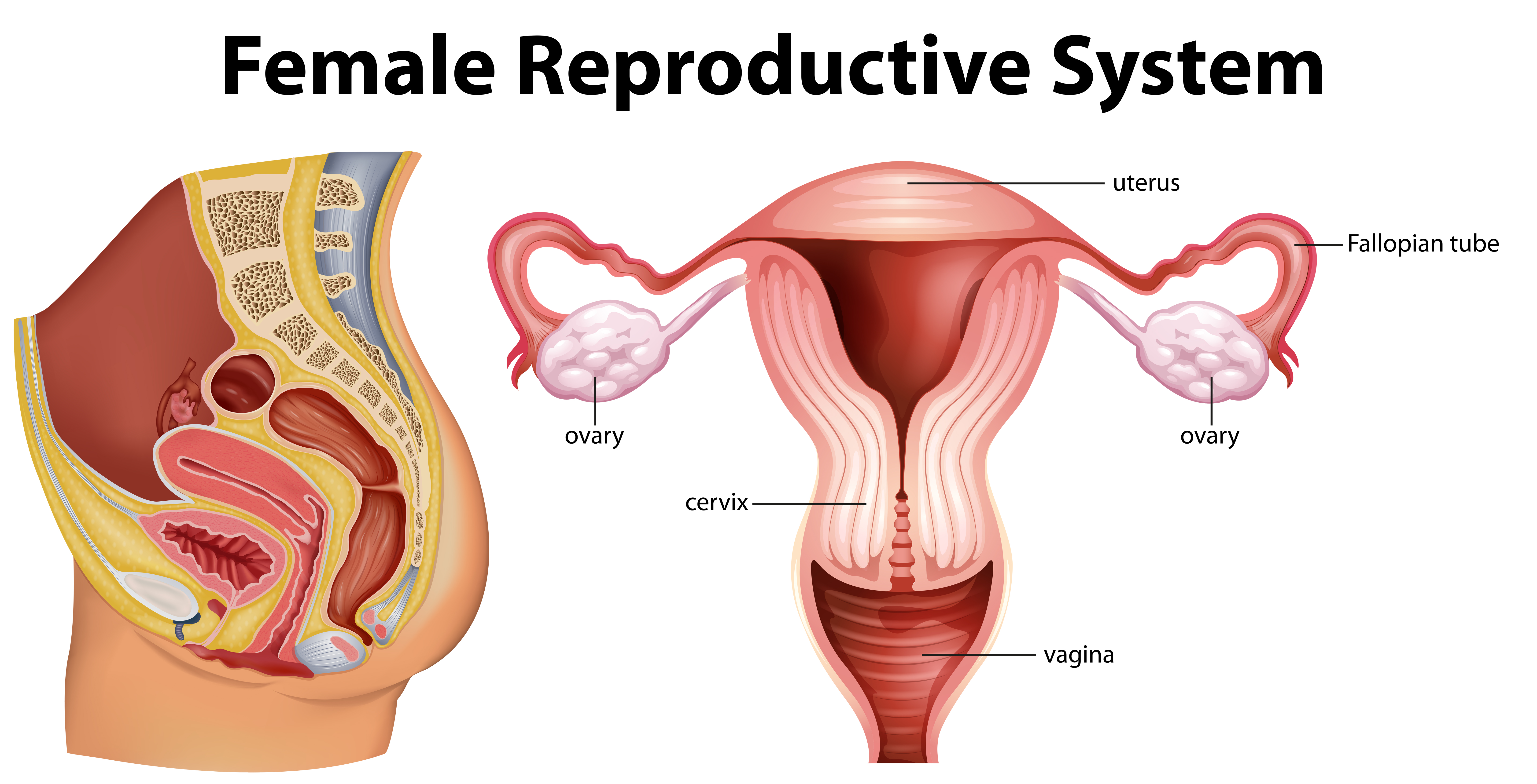 Female Reproductive System Free Vector Art - (26 Free Downloads)Vecteezy