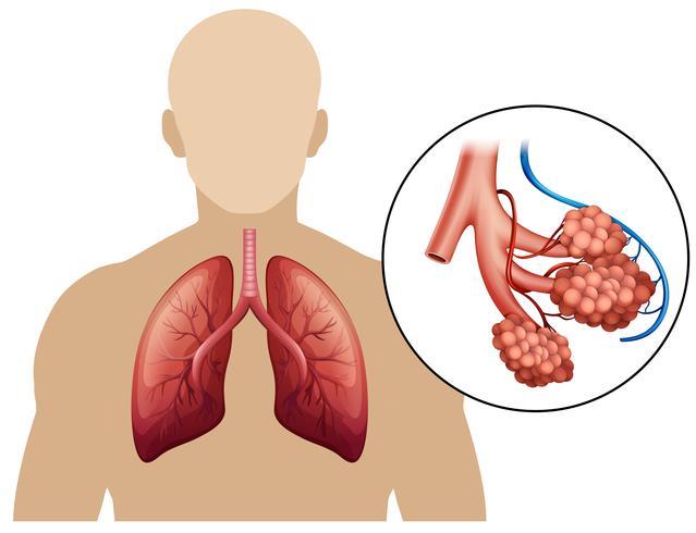 Diagrama de um pulmão ampliado