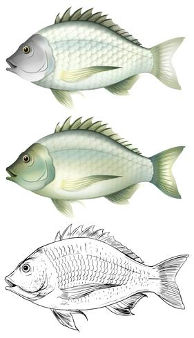 Different drawing of the same fish