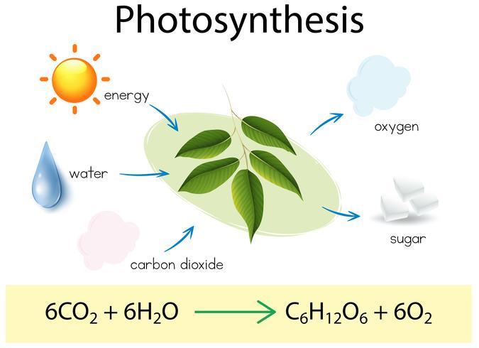 Eine wissenschaftliche Ausbildung der Photosynthese