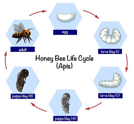 Levenscyclus honingbij