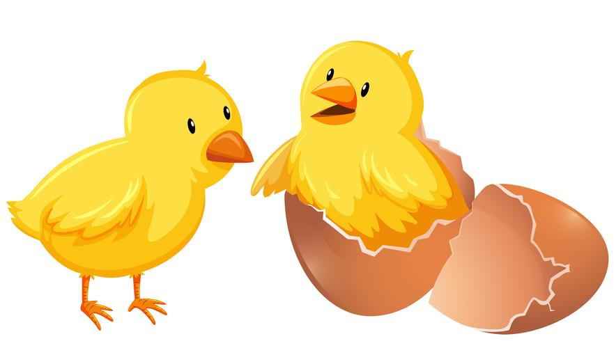 Dos pollos jóvenes con cáscara