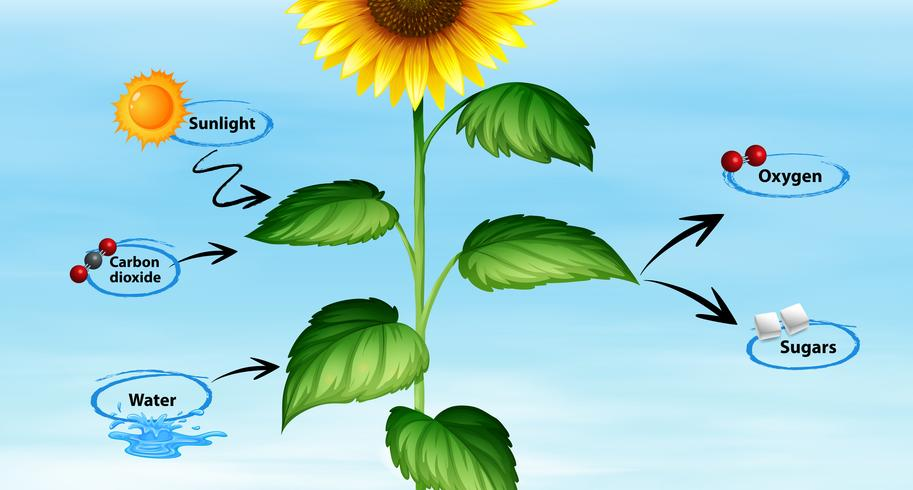 Diagram som visar solros och fotosyntes