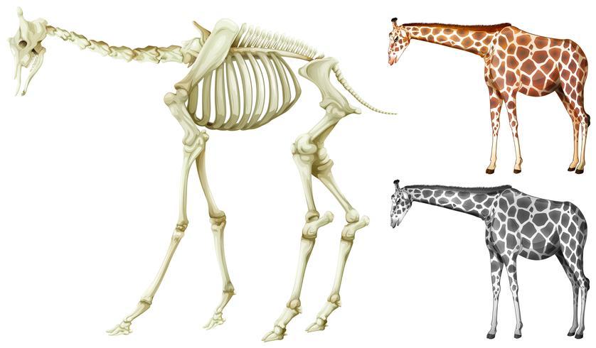Giraff och benstruktur