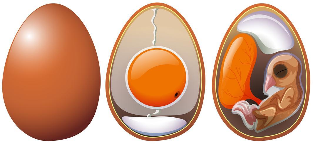 Etapas del desarrollo del huevo.