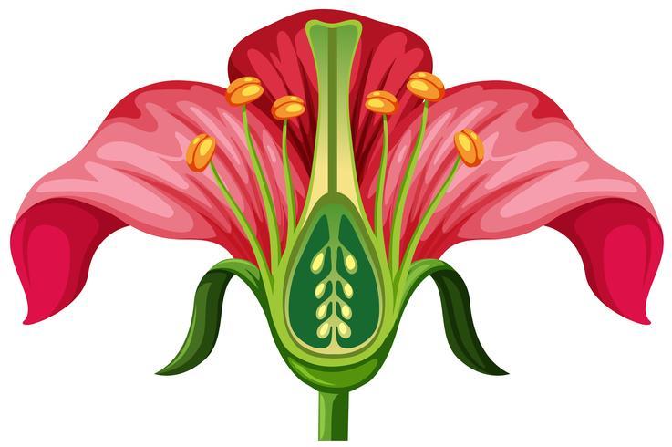 Flower anatomy on white background