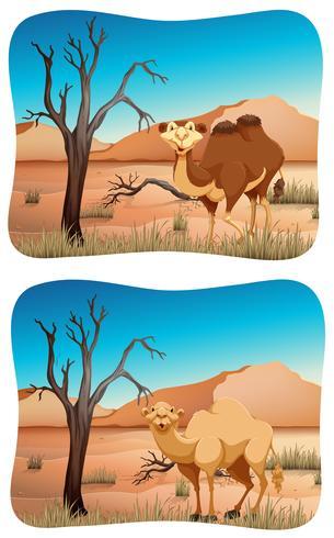 Due scene di cammello nel deserto