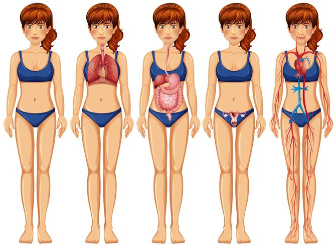Um corpo de mulher e anatomia vetor